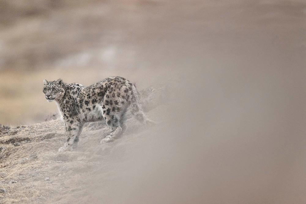Très Nikon Ambassadors Program Section - Vincent Munier - Snow Leopard  OU52