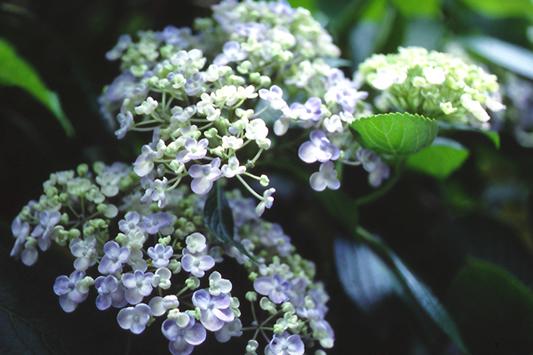 Цветок гортензия  посадка и уход фото гортензии